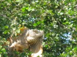 iguana, wildlife, Mexico, Zihuatanejo