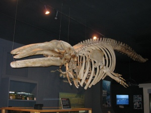 whale skeleton whale museum friday harbor