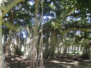 Banyan tree, Queen K park honolulu