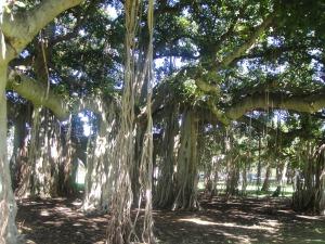 Banyan tree, Queen K park honolulu